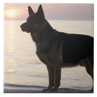 German Shepherd dog on Georgian Bay, Ontario, Tile