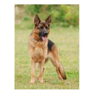 German shepherd dog postcard