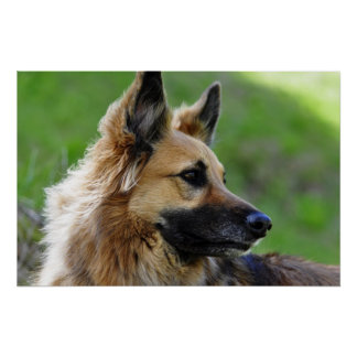 German Shepherd Headshot Poster