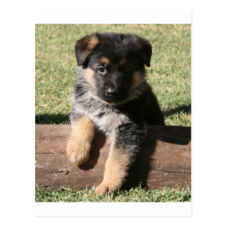"German Shepherd Puppy ""Big Max"" Postcard"