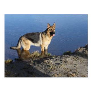 German Shepherd Puppy Dog Blank Post Card