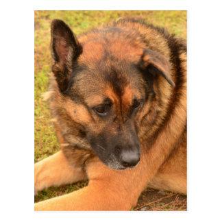 German Shepherd with One Floppy Ear Postcard