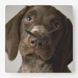 German Short-Haired Pointer puppy Square Wall Clock