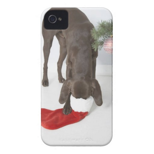 German short-haired pointer sticking snout in iPhone 4 cases