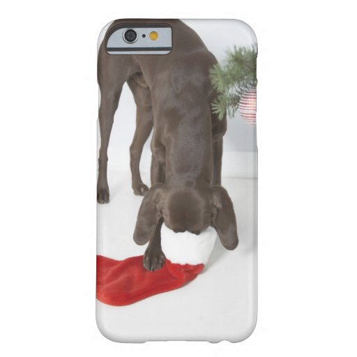 German short-haired pointer sticking snout in iPhone 6 case