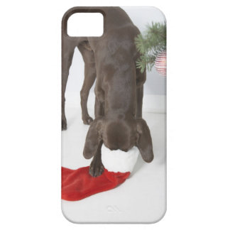 German short-haired pointer sticking snout in iPhone 5 case