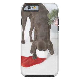 German short-haired pointer sticking snout in tough iPhone 6 case