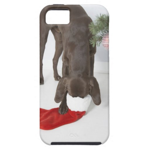 German short-haired pointer sticking snout in iPhone 5 covers