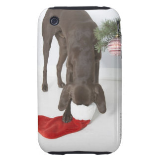 German short-haired pointer sticking snout in iPhone 3 tough cover