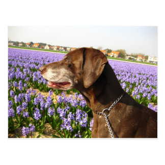 German shorthaired pointer and flowers postcard