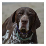 German Shorthaired Pointer Dog Poster