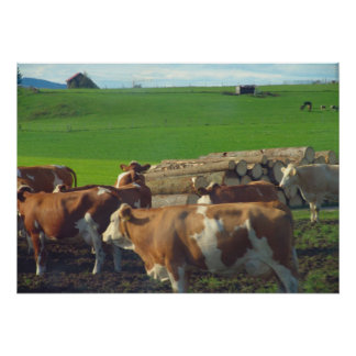 Germany Bavaria Dairy cows and rich pasture Print