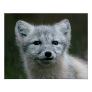 Getty Images | Arctic Fox Kit Poster