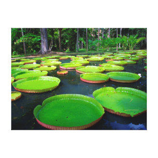 Giant Amazon Water Lilies (Victoria Amazonica) Canvas Print