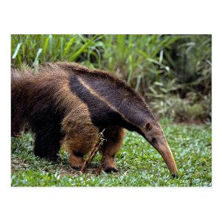 Giant anteater (Myrmecophaga tridactyla) Postcard