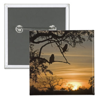 Giant Eagle Owls (Bubo lacteus) silhouetted at 15 Cm Square Badge