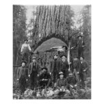 Giant Fir Tree Ready to Fall, 1902 Poster