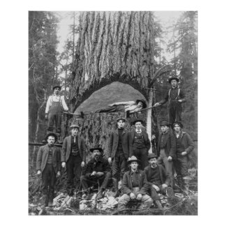 Giant Fir Tree Ready to Fall 1902 Posters