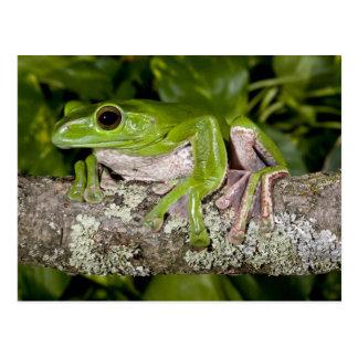 Giant Gliding Frog, Polypedates dennysi ssp, Postcards
