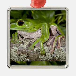 Giant Gliding Frog, Polypedates dennysi ssp, Silver-Colored Square Decoration