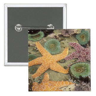 Giant green anemones and ochre sea stars 15 cm square badge