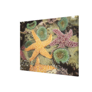 Giant green anemones and ochre sea stars canvas print