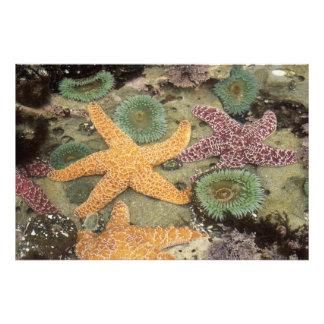 Giant green anemones and ochre sea stars photo print
