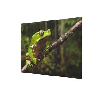 Giant leaf frog Phyllomedusa bicolor) 2 Canvas Print