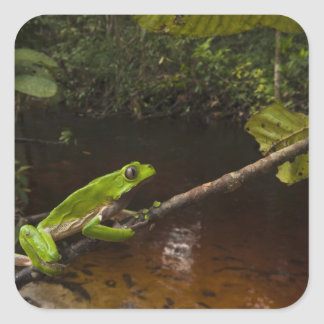 Giant leaf frog Phyllomedusa bicolor) 2 Square Sticker