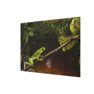 Giant leaf frog Phyllomedusa bicolor) 3 Canvas Print