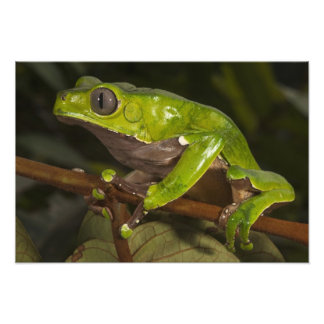 Giant leaf frog Phyllomedusa bicolor) Art Photo
