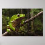 Giant leaf frog Phyllomedusa bicolor) Poster