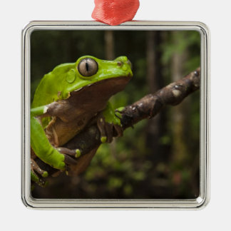 Giant leaf frog Phyllomedusa bicolor) Silver-Colored Square Decoration