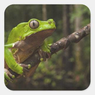 Giant leaf frog Phyllomedusa bicolor) Square Sticker