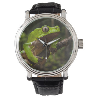 Giant leaf frog Phyllomedusa bicolor) Watch
