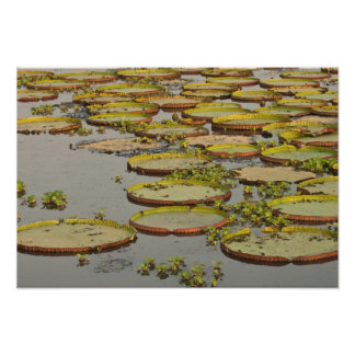 Giant or Victoria Lilies Victoria amazonica, Photographic Print