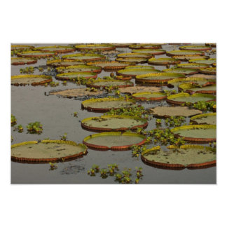 Giant or Victoria Lilies Victoria amazonica, Poster