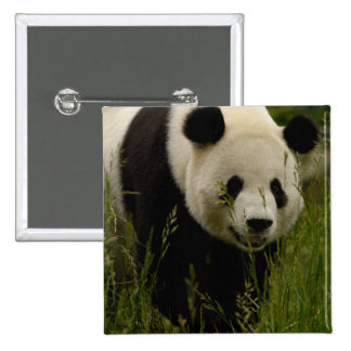 Giant panda (Ailuropoda melanoleuca) Family: 15 Cm Square Badge