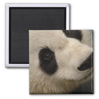 Giant panda (Ailuropoda melanoleuca) Family: 2 Square Magnet
