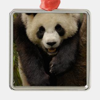 Giant panda (Ailuropoda melanoleuca) Family: 3 Christmas Ornament