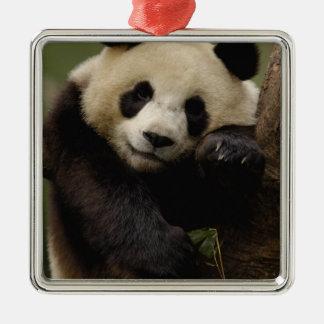 Giant panda Ailuropoda melanoleuca) Family: 4 Christmas Ornament