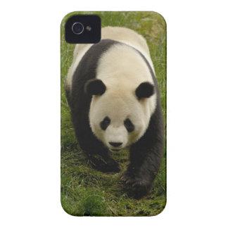 Giant panda (Ailuropoda melanoleuca) Family: 4 iPhone 4 Cases