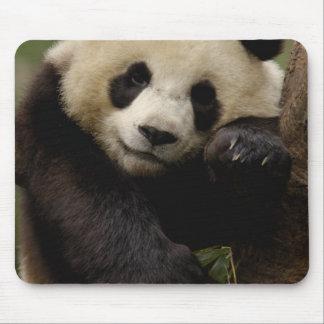 Giant panda Ailuropoda melanoleuca) Family: 4 Mouse Mat