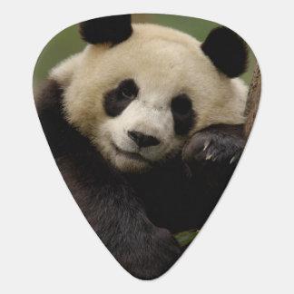 Giant panda Ailuropoda melanoleuca) Family: 4 Plectrum