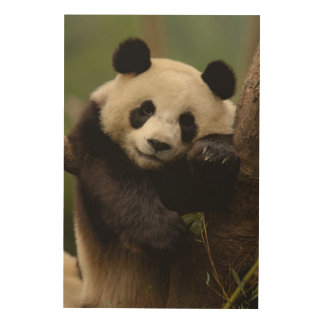 Giant panda Ailuropoda melanoleuca) Family: 4 Wood Wall Art