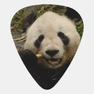 Giant panda Ailuropoda melanoleuca) Family: 5 Guitar Pick