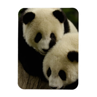 Giant panda (Ailuropoda melanoleuca) Family: 5 Rectangular Photo Magnet