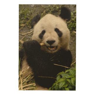 Giant panda Ailuropoda melanoleuca) Family: 5 Wood Print