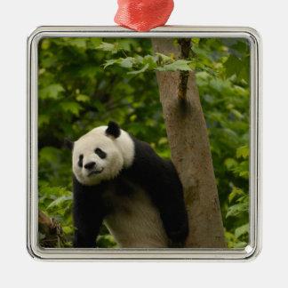Giant panda Ailuropoda melanoleuca) Family: 6 Christmas Ornament