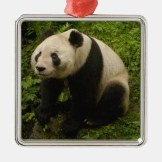 Giant panda (Ailuropoda melanoleuca) Family: 6 Christmas Ornament
